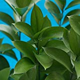 GlobalRose 60 Stems of Ruscus Leaves - Fresh Flowers for Delivery