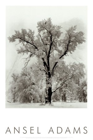 Oak Tree, Snowstorm, Yosemite National Park, 1948 Art Poster Print by Ansel Adams Overall Size: 24x36 (Ansel Adams Gallery Yosemite National Park)