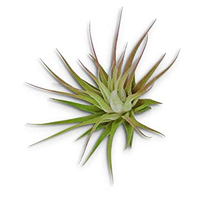 1 Inch Air Plants Small Tillandsia Ionantha Guatemala - CSR23 : Garden & Outdoor