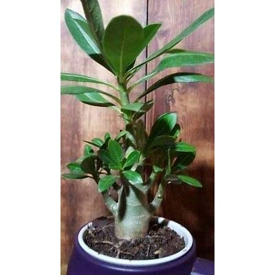 Adenium obesum Desert Rose Choice ! Perfect for Bonsai !!!!!!: Garden & Outdoor