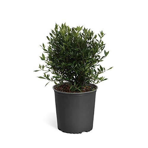 Frost Proof Gardenia Shrub - 3 Gallon