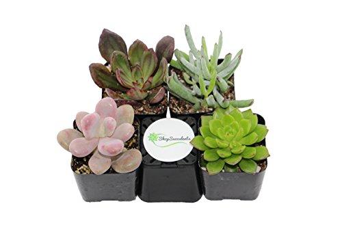 Shop Succulents Unique Succulent Collection