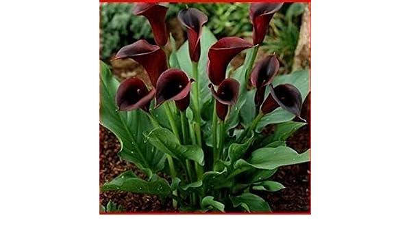 Vistaric 100 unidades/bolsa, semillas de cala, semillas de flores, variedad completa, la tasa de brotes es del 95%, (colores mezclados): Amazon.es: Jardín