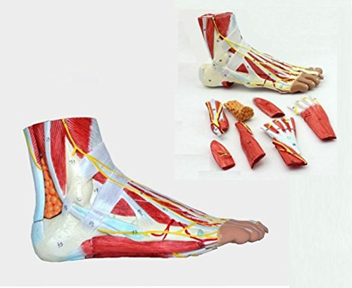 Medical Anatomical Foot Skeleton Model with Ligaments, Muscles, Nerves and Arteries, 9-Part, Life Size, Finest Details