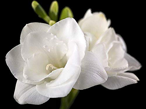 (10) White Freesia Bulbs Fragrant Rich Aroma Charming Guarantee Flowers Beauiful Decoration Easy to Plant Potted Bonsai