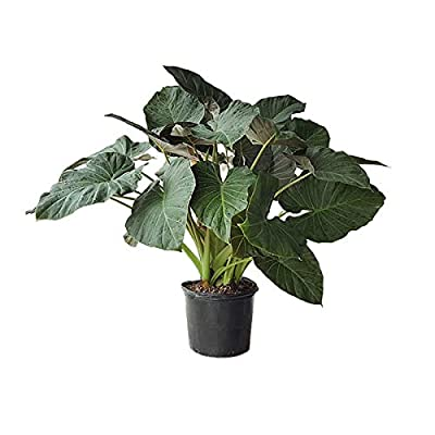 PlantVine Alocasia 'Regal Shields', Elephant Ear - Extra Large - 12-14 Inch Pot (7 Gallon), Live Indoor Plant : Garden & Outdoor