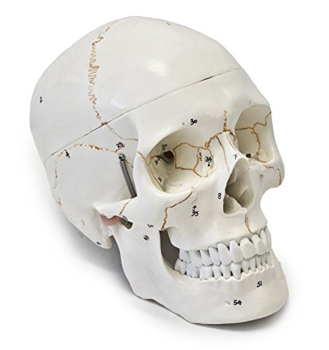 Walter Products B10221 Numbered Human Skull Model, Life Size, 3 Parts, 8 x 5 x 6 Inches