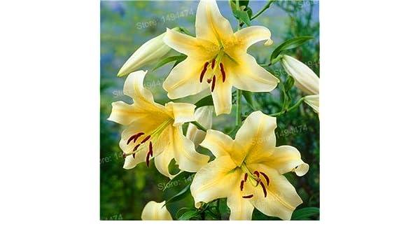 Amazon Com Mixed Color Lily Plants Cheap Perfume Lily Plantas