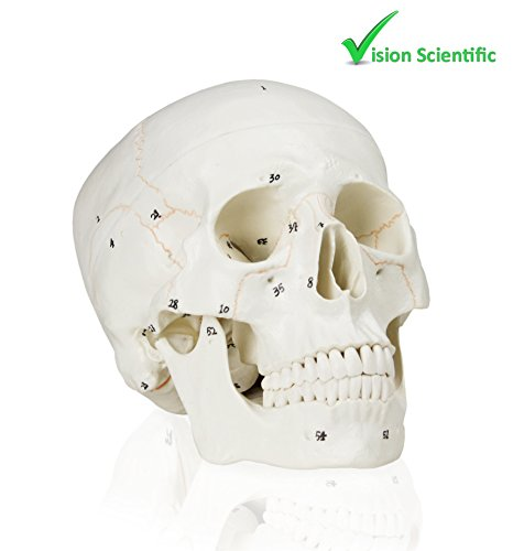 (Vision Scientific VAL221Medical Numbered Human Skull-3 Part | Life Size | from Real Human Skull, Detail Hand Painted Numbering | Sectioned Skullcap | Suture Lines & Full Dentition | Labelled)