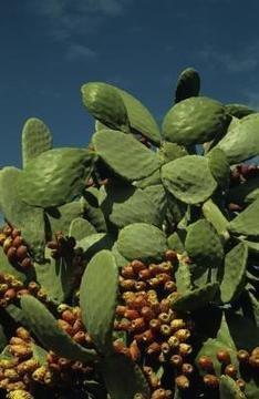 NOPALE CACTUS PADS Opuntia ficus-indica TORTOISE FOOD 1 POUND