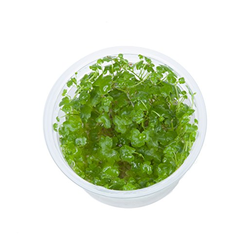 Tropica Hydrocotyle tripartita Live Aquarium Plant - In Vitro Tissue Culture 1-2-Grow! by Tropica