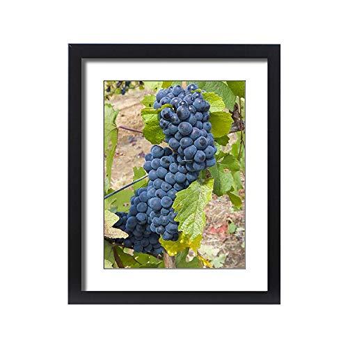 Media Storehouse Framed 20x16 Print of USA, Oregon, Gaston. Pinot Noir Grapes on The Vine (19029483)