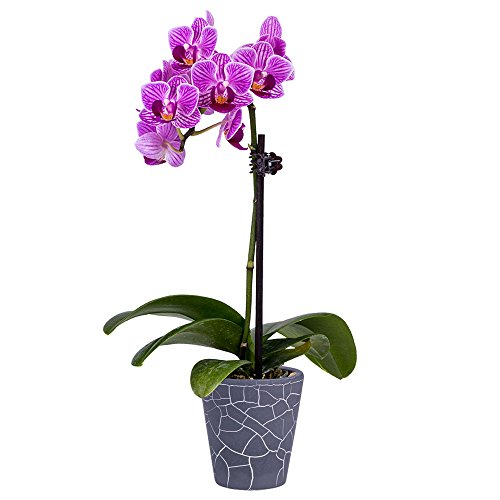DecoBlooms Living Orchid Flower Plant - 2 Inch Blooms - Fresh Flowering Home Décor