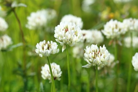 - White Dutch Clover Seed Flowering Seeds for Wildlife Food Plots & Soil Erosion Control 1 Lb