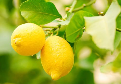 Dwarf Meyer Lemon Citrus Fruit Tree