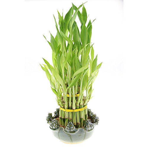 Three Tiered Lucky Bamboo Tower in Decorate Frog Pot (8 Frog Pot) ()