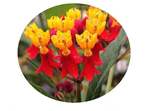 - MILKWEED RED Tropical Perennial Live Plant Butterfly Garden Attracts Butterflies Asclepias Starter Size 4 Inch Pot Emerald TM