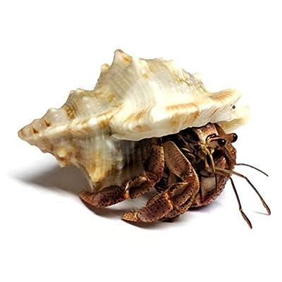 Nature Gift Store 1 Live Pet Hermit Crab+4oz Food+Treats Bundle: Purple Pincher Land Crab: Toys & Games