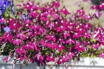 Carmine-red Edging Lobelia; Garden Lobelia, Trailing Lobelia - Seeds