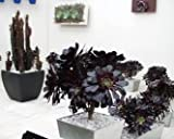 """Black Rose Tree - Aeonium arboreum - RARE - Easy to grow! - 3"""" Pot"""
