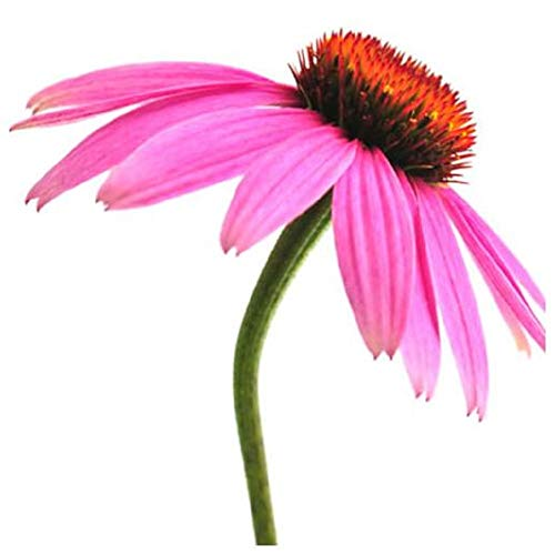 Purple Coneflower Seeds - Echinacea Perennial Herb - 1,000 Seeds Non GMO