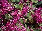 Loropetalum chinense var. rubrum Tree shrub seeds beautiful flower Fringe flower