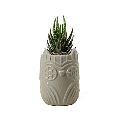 Hallmark Flowers Live Succulent in 3'' Grey Owl Ceramic Container by Hallmark Flowers (Image #2)
