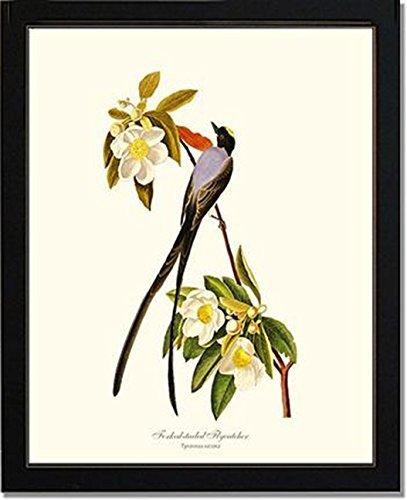 Flycatcher Antique - Bird Print Audubon Vintage Art: Fork-Tailed Flycatcher