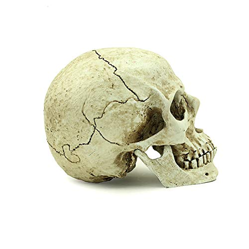 GFF SHOP Resin Skull, Academy of Fine Arts Statue TV Series Filming Exhibitor (21.5 16 13 cm) White