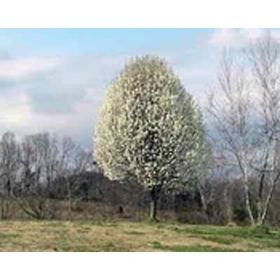 Bradford Culinary Callery Pear Tree Seeds : Garden & Outdoor