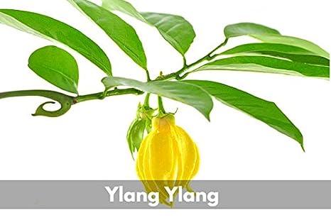 Amazon.com: Ylang Ylang - Aceite esencial de grado terapéutico - Promueve sensaciones de amor y relajación (0.34 Oz): Health & Personal Care