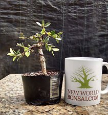 Bonsai Tree, Japanese Boxwood Bonsai tree, Mame Bonsai, Wired (Boxwood Bonsai Tree)