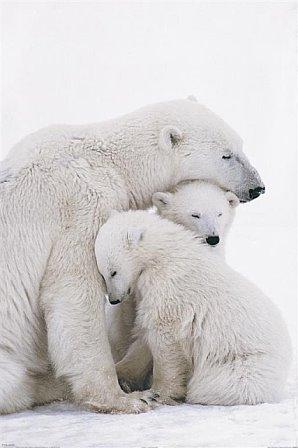 Large 35x23 inch Polar Bear and Cubs Pos - Polar Bear Cubs Shopping Results