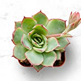 Succulent Plants, Echeveria Moon GAD