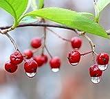Aronia Arbutifolia 'Brilliantissima' - Red Chokeberry