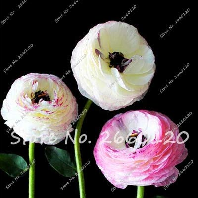 100 Pcs Mixed Ranunculus Flower Bonsai Home DIY Persian Buttercup Plant Bonsai Not Flower Bulbs
