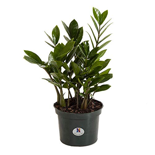 United Nursery ZZ Plant Low Light Zamioculcas Zamiifolia Live Indoor Houseplant Ships in 6 Inch Grower Pot 12-16 inches