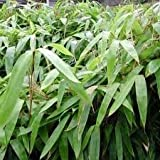 Maya Gardens, Inc. Indocalamus Tessellatus, Cold Hardy Tropical Bamboo Plant, up to 2' Long Leaves