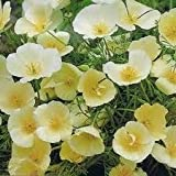 Californian Poppy 'Ivory Castle' / Eschscholzia californica / Seeds