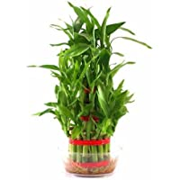 The Flower Time- 3 Layer Lucky Bamboo Indoor Plant For Feng Shui with Pot …