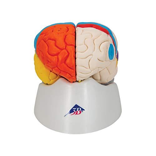3B Scientific C22 8 Part Neuro-Anatomical Brain Model, 5.5