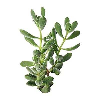Succulent Crassula Congesta Green Beans Succulent (2'') : Garden & Outdoor