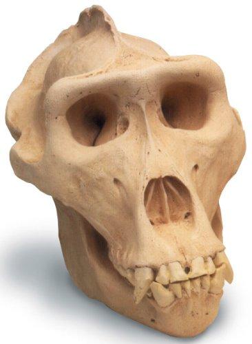 Lowland Gorilla Skull Replica