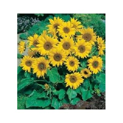 Helianthus (Sunflower) Little Leo 250 seeds: Home & Kitchen