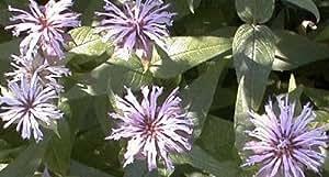 Monarda (Bee Balm) bradburiana 1,000 seeds