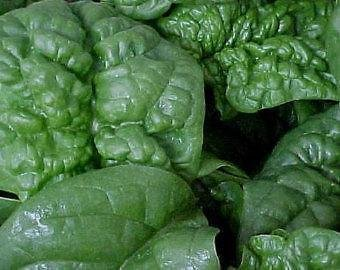 Spinach, America Spinach Seed, Organic, NON-GMO, 50 seeeds per package. (Seeeds Vegetable)