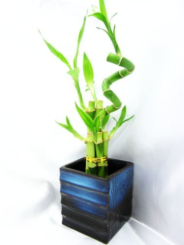 Tree Blue Bamboo (9GreenBox - Lucky Bamboo – Spiral Style with Black and Blue Ceramic Vase)