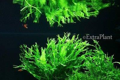 3X Pot Lace Java Fern Microsorum Pteropus Windelov Fresh Live Aquarium Plants by MW150 (Image #1)