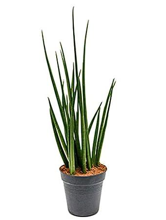 Zimmerpflanzen Für Sonnige Standorte bogenhanf 60 80 cm im 27 cm topf pflegeleichte zimmerpflanze