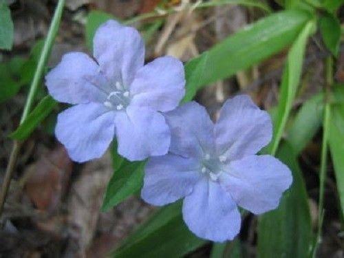 (100 Blue Purple FRINGELEAF Petunia Wild Ruellia Humilis Flower Seeds)